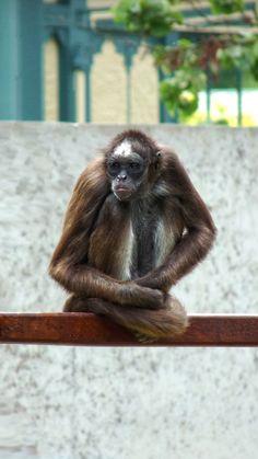 Affe, Zoo Wilhelma, Hintegrundbild für Huawei P9, 1080x1920 px