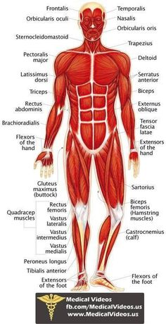 Human Body Anatomy, Human Anatomy And Physiology, Body Muscle Anatomy, Human Muscular System, Muscular System Anatomy, Medical Anatomy, Medical Coding, Anatomy Study, Medical Assistant