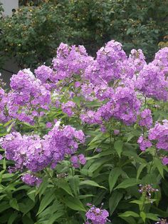 Garden Phlox in bluer lilac. Excellent mildew resistance.  Katherine Phlox,  lavender blue flowers.  Not sure where I have this yet.