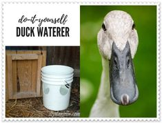 "This Duck Drinking Water Bucket Homesteading DIY Project is a great way to reduce ""messy duckies"" watering location. For duck lovers, they know what they Backyard Ducks, Backyard Poultry, Chickens Backyard, Raising Meat Chickens, Raising Ducks, Duck Pens, Duck Duck, Duck Waterer, Duckling Care"
