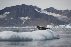 Ringed seal, pusa hispida, laying on an iceberg in Greenland