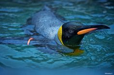 King Penguin just back from fishing...