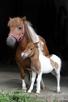 Shetland mare and foal :3