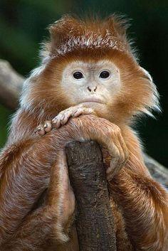 Javan Lutung monkey