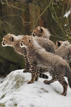 Cheetah cubs - photo by Ida Lundahl The Animals, Baby Animals, Wild Animals, Big Cats, Cool Cats, Cats And Kittens, Beautiful Cats, Animals Beautiful, Cheetah Cubs