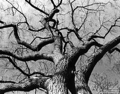 Bare branches - Tree with no leaves against a clear sky - exposed, bald, barren, denuded, leafless, nude - Black & white photograph