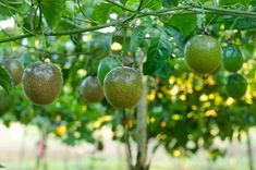Here's how to grow passionfruit vines in your own backyard plus essential tips for vine care including planting, watering, fertilising, pruning and propagating. Colorful Plants, Fruit Plants, Fruit Garden, Fruit Trees, Fruit Fruit, Tropical Garden, Herb Garden, Garden Beds, Growing Passion Fruit