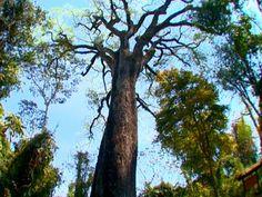 Recebem o nome de jequitibá árvores de troncos de grandes dimensões, tanto em comprimento como em perímetro, da família das lecitidáceas. As duas espécies mais conhecidas de jequitibá são: Cariniana legalis, o jequitibá rosa e Cariniana estrellensis, o jequitibá-branco ou somente jequitibá.