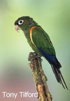 Fiery-shouldered Parakeet(Pyrrhura egregia)