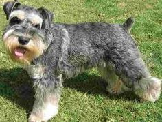 schnauzer images - Google Search