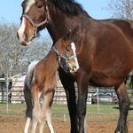 #horses Sugarbush Draft horse