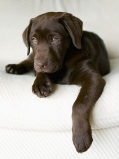 Chocolate Lab Puppy Photographic Print by Jim Craigmyle from AllPosters.com - $29.99