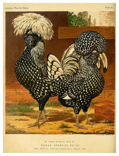 (via 005—The illustrated book of poultry. With practical scheduals…1873-Lewis Wright | Flickr - Photo Sharing!)