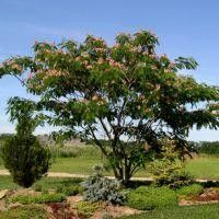 Mimosa Tree. Fixes nitrogen. Ideally an orchard should have up to 24 nitrogen-fixing trees per acre.