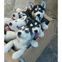 A box of Siberian pupcakes! #Siberian#puppies#9gag @9gagmobile  Follow @9gag for more funny and cute pictures!