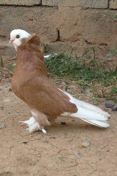 Pigeon Nest, Pigeon Bird, Dove Pigeon, Pretty Birds, Beautiful Birds, Pigeon Loft Design, Animals And Pets, Cute Animals, Pigeon Pictures
