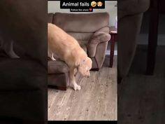 Funny Animal Videos, Funny Animals, Labrador Retriever, Dogs, Labrador Retrievers, Pet Dogs, Funny Animal, Doggies, Hilarious Animals