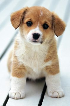 adorable corgi pup
