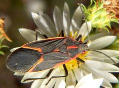 The Demise of the Boxelder Bugs