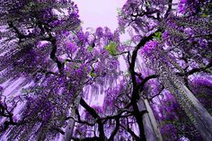 Prettiest Tree in the World | The most beautiful wisteria tree in the world - they smell amazing too!!