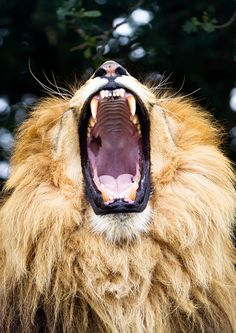 The ROAR of the LION!