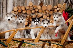 Photo of Siberian Husky puppies in traditional wooden dog sled with Christmas wreath, Alaska