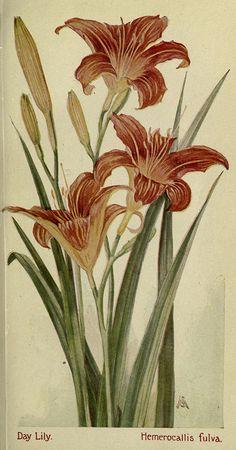 Hemerocallis fulva, Field book of American Wild flowers, Biodiversity heritage library