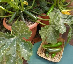 """Zucchini 'Astia' """"Container Zucchini"""" - Perfect for even the teeny tiniest of veggie gardens, 'Astia' stays a cute & compact 2-3' tall & wide, making it ideal for container life (mimimum size for one plant is a 15"""" pot). Photo courtesy of Renee Shepherd"""