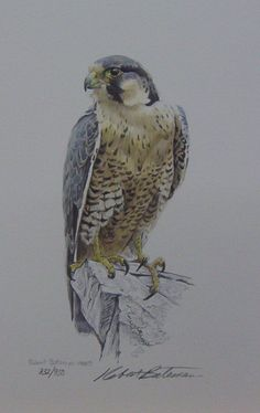 The Art of Robert Bateman Owl Tattoo Drawings, Bird Drawings, Animal Drawings, Bird Of Prey Tattoo, Falcon Tattoo, Cool Paintings, Watercolor Paintings, Watercolor Tattoo, Eagle Drawing