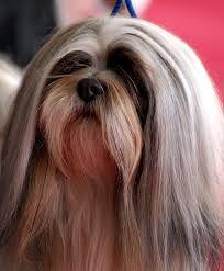 lhasa apso grooming tips ~ lhasa apso grooming . lhasa apso grooming tips The Animals, Cute Puppies, Cute Dogs, Dogs And Puppies, Doggies, Boxer Puppies, Lion Dog, Dog Cat, Lhasa Apso Puppies