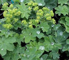 """Alchemilla sericata 'Gold Strike' """"Lady's Mantle""""   Part sun/Shade  Avg. water  Perennial USDA zones 3-8 from Annie's Annuals: Spring thru late Summer it's covered in umbels bursting with BRIGHT chartreuse/yellow frothy masses of tiny star-shaped blooms... bees, butterflies, hummingbirds & lizards!  2' tall by 2'  front-of-border, large container, rock garden. Try with Helleborus x lividus 'Pink Marble'  combo!"""