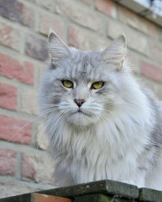 """She is a beautiful Maine Coon! """"Indi""""- Shedoros IndiaHopea. Shedoros Maine Coon cattery in Germany. http://www.mainecoonguide.com/what-is-the-average-maine-coon-lifespan/"""