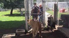Levicu prišiel navštíviť jej prvý ošetrovateľ: Toto sa stalo, keď sa k nej odvážil vojsť! Goats, Horses, Animals, Animales, Animaux, Horse, Animal Memes, Animal, Goat