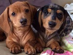I think this is what Tanner and Charley would have looked when they were puppies :)