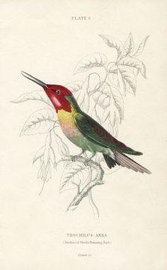 Jardine Naturalist's Library Hummingbird Prints 1833