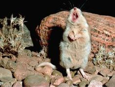 The Southern Grasshopper Mouse (formerly the Scorpion Mouse) is the only carnivorous mouse in North America and lives in the Sonoran Desert. This mouse howls at the moon!