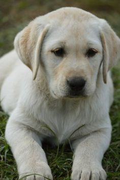 Labrador Retriever Pup ~ Classic Look Puppies And Kitties, Cute Cats And Dogs, I Love Dogs, Cute Puppies, Dogs And Puppies, Dog Pond, English Labrador, Baby Animals, Cute Animals