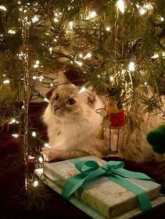 I wish my cats were as well behaved as this. They'd be climbing the branches, batting ornaments off, tearing off the tinsel, and knocking the tree over....not in that order!