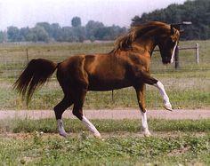 Ohadi Ben Rabba (Ben Rabba x Ohadi Miss Aurab) 1985 chestnut stallion bred by Curtis Cox, Idaho