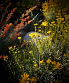 Wild Flowers Bloom the in Anza Borrego Desert, California photo by BeersandBeans.com