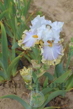 Photo of the bloom of Tall Bearded Iris (Iris 'Skirt Alert') Iris Flowers, Planting Flowers, Beautiful Flowers, Iris Garden, Garden Plants, Flower Beard, Succulent Gardening, Bearded Iris, Outdoor Plants