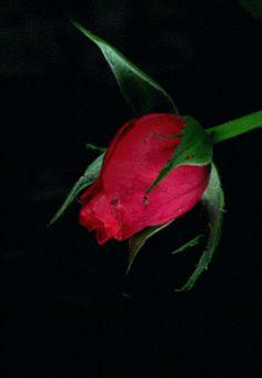 gifs de una rosa - Buscar con Google
