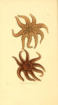 Starfish from v. 1-2 (1806) - The British Miscellany
