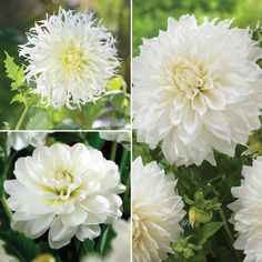 White Dahlia Collection. This collection includes three snow white dahlias: frilly cactus, classic decorative and giant dinnerplate. Contrasting shapes and textures ensure artful summer arrangements.