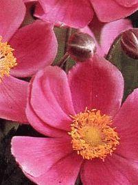Anemone hupensis 'September Charm' - Wind Flower www.vanbloem.com #vanbloemgardens #perennial #summergarden #anemone