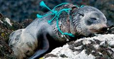 #petition  The massive amounts of plastic in the ocean are threatening to kill off Hawaii's endangered seals and sea turtles on remote Pacific islands.  http://action.storyofstuff.org/sign/pacific-plastic-epa-superfund