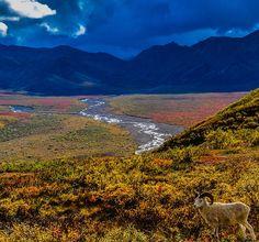 A lone Dall Sheep at Polychrome Pass in Denali National Park in Alaska.
