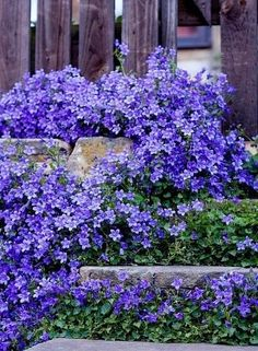 Best Perennials for Areas Of Shade Shade perennials and plants are often used in woodlines and near areas of full shade. At Tn Nursery, we have a full line of shade loving plants and perennials just perfect for those areas of little sun. Lawn And Garden, Garden Paths, Border Garden, Garden Steps, Garden Shrubs, Purple Flowers, Beautiful Flowers, Shade Loving Flowers, Colorful Roses