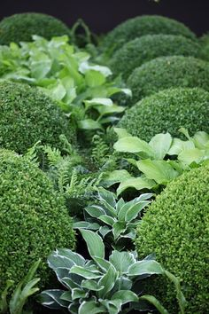 Formal Boxwood shrubs mixed with assorted Hostas and ferns randomly places is…