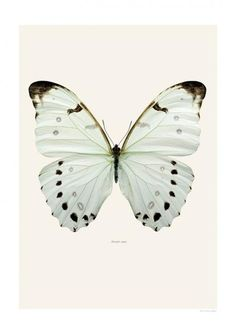 Buy Liljebergs Insect Prints | Morpho luna – Natural History Direct